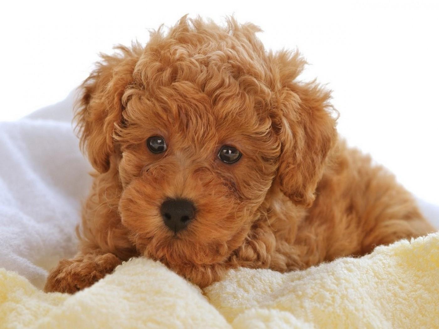 Một số bệnh thường gặp ở chó Poodle